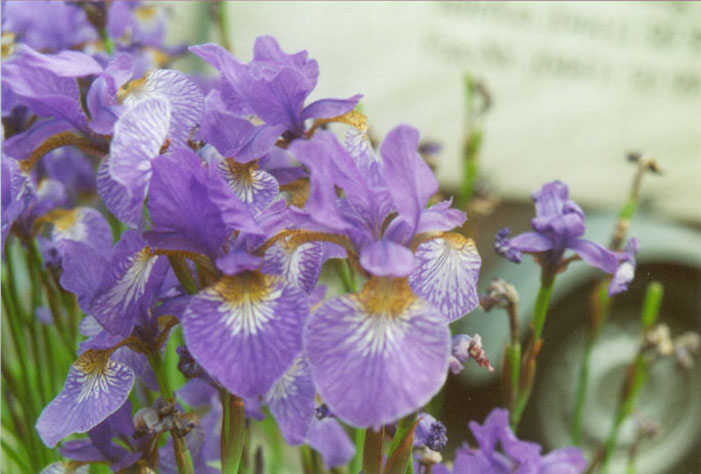 Iris, privater Hausgarten, Oldenburg, Mai 2002
